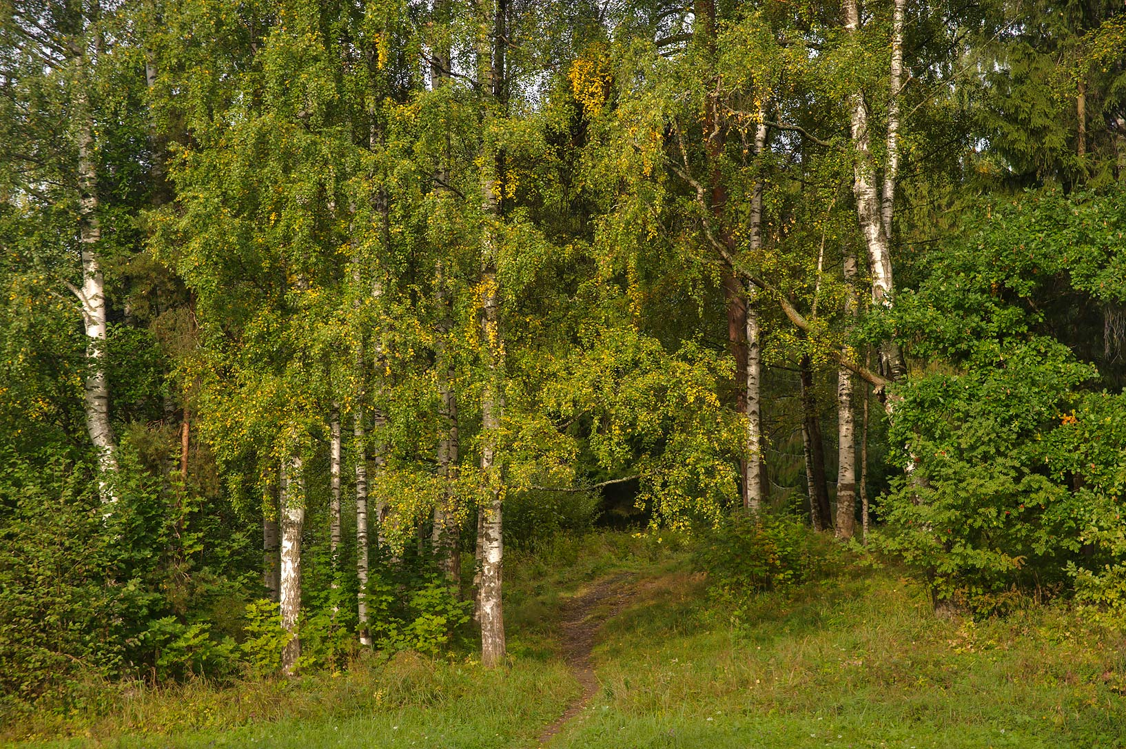 Birches in valley of Slavianka River in Pavlovsk...a suburb of St.Petersburg, Russia