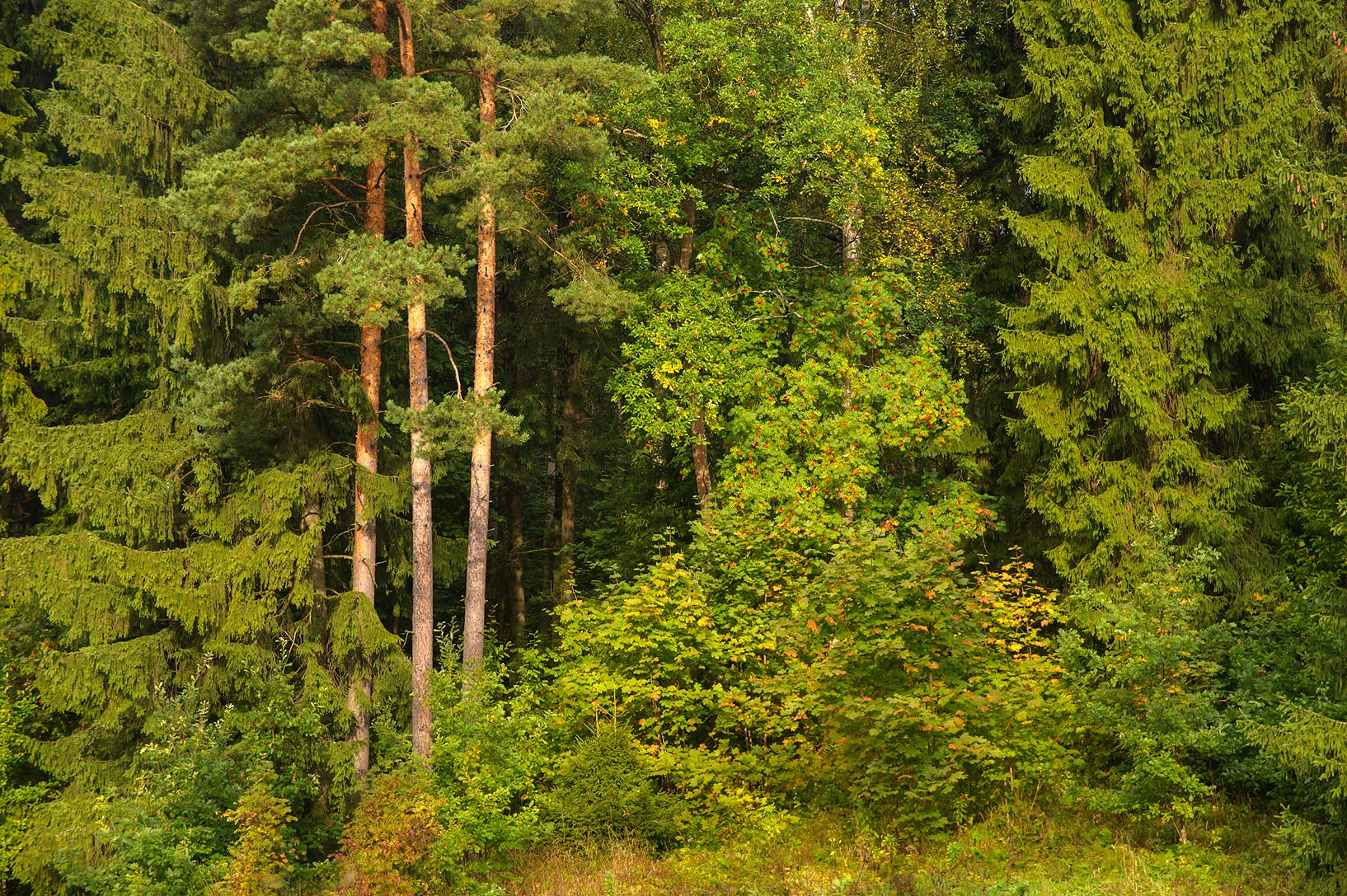 Pine trees in valley of Slavianka River in...a suburb of St.Petersburg, Russia