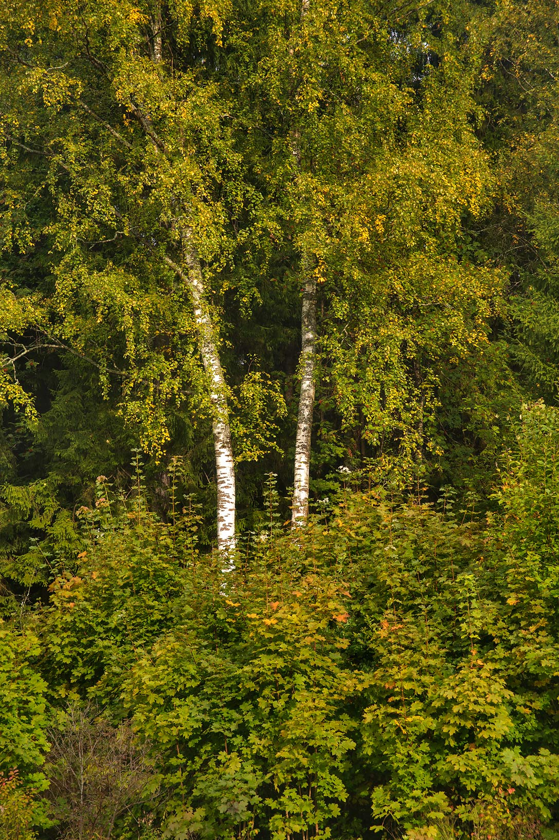 Two birches in valley of Slavianka River in...a suburb of St.Petersburg, Russia