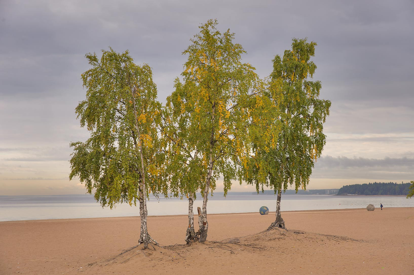 Birches on Laskovy Beach in Solnechnoe, west from St.Petersburg. Russia