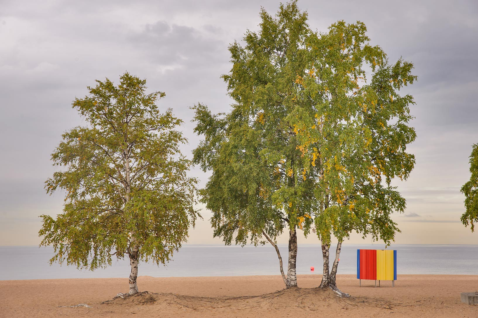 Birch trees on Laskovy Beach in Solnechnoe, west from St.Petersburg. Russia