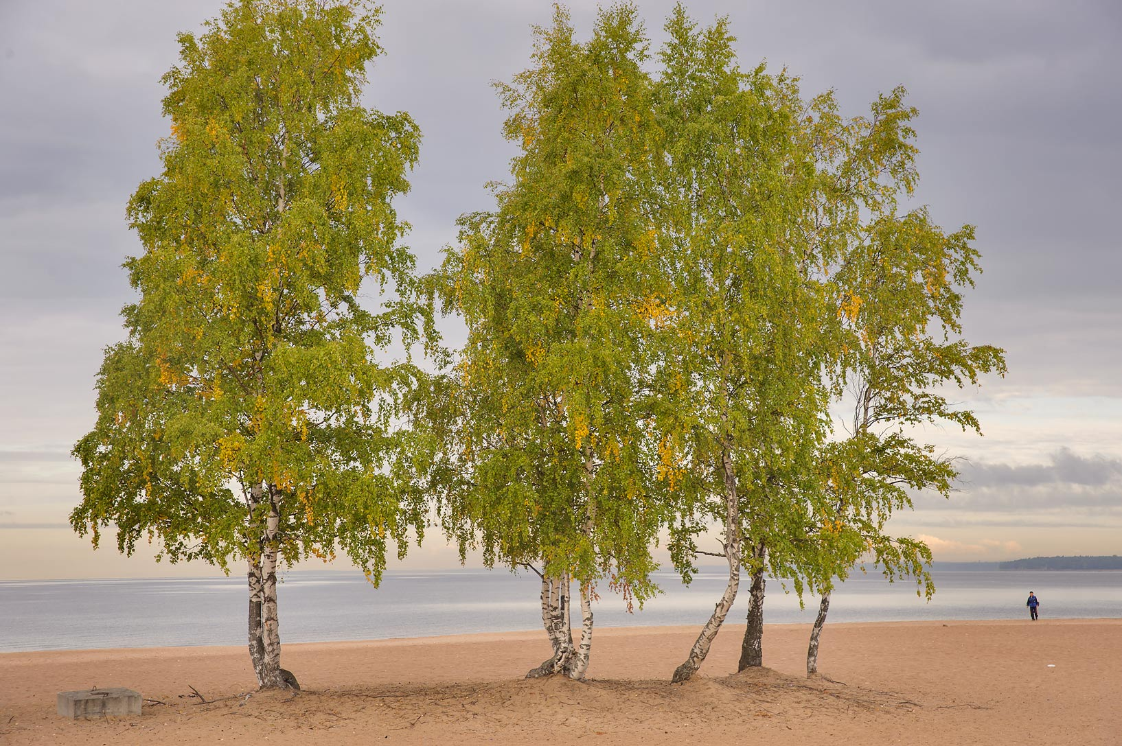 Group of birch trees on Laskovy Beach in Solnechnoe, west from St.Petersburg. Russia
