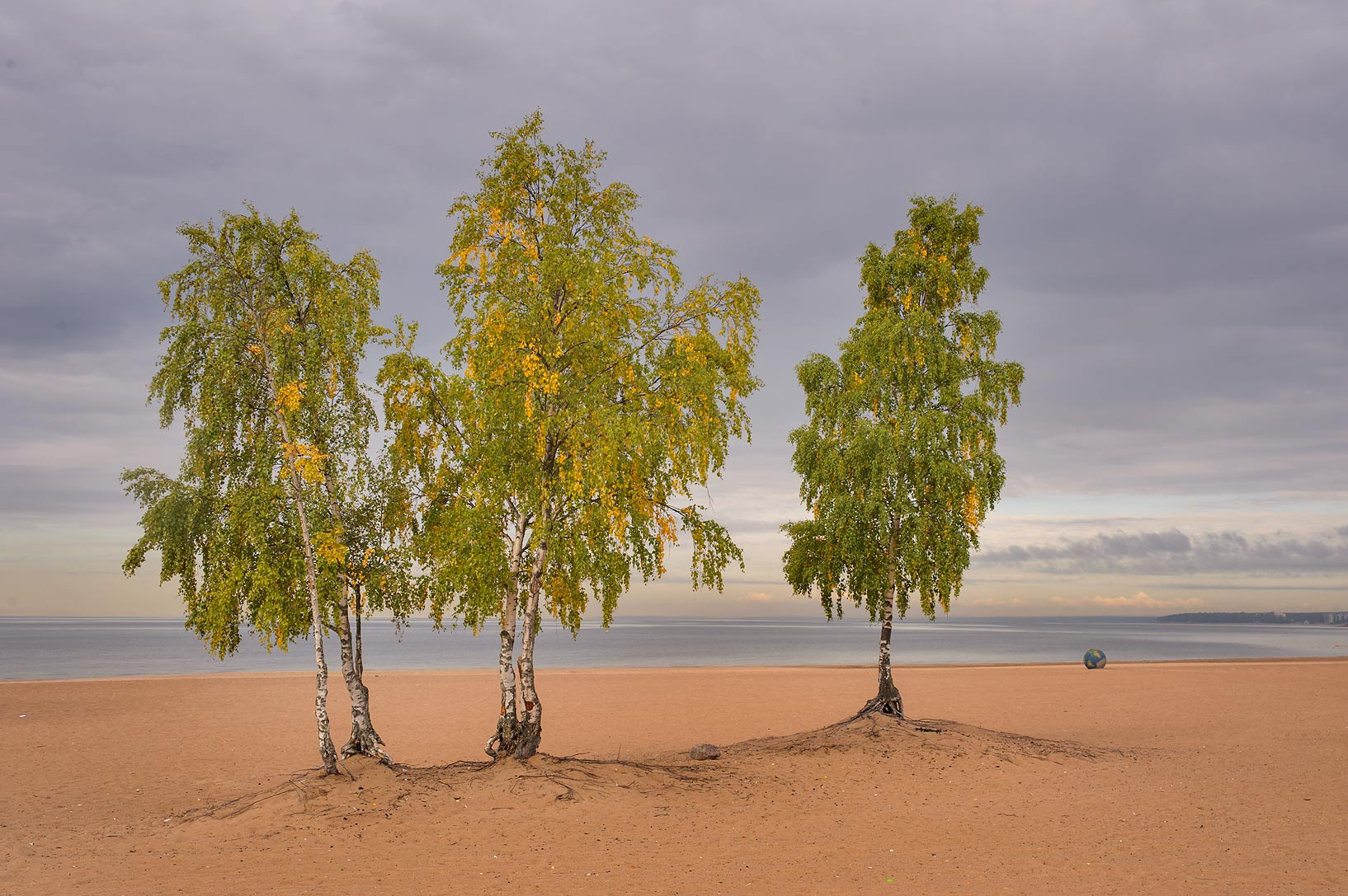 Several birch trees on Laskovy Beach in Solnechnoe, west from St.Petersburg. Russia