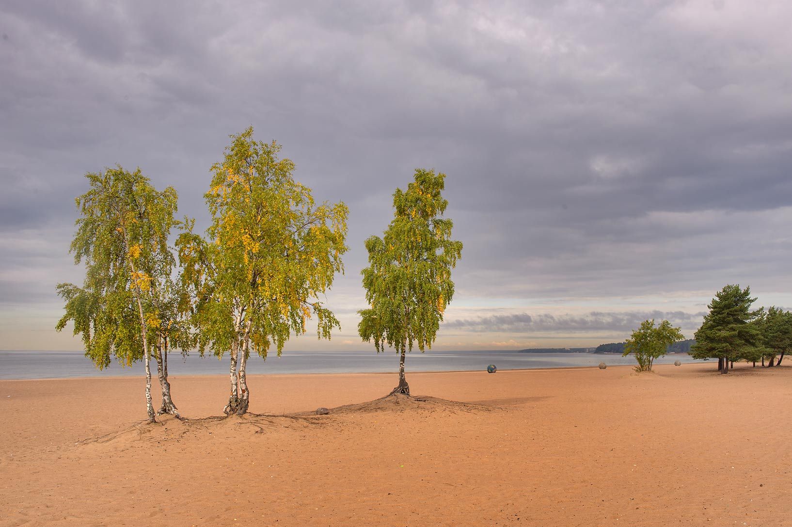 Birch tree stand on Laskovy Beach in Solnechnoe, west from St.Petersburg. Russia