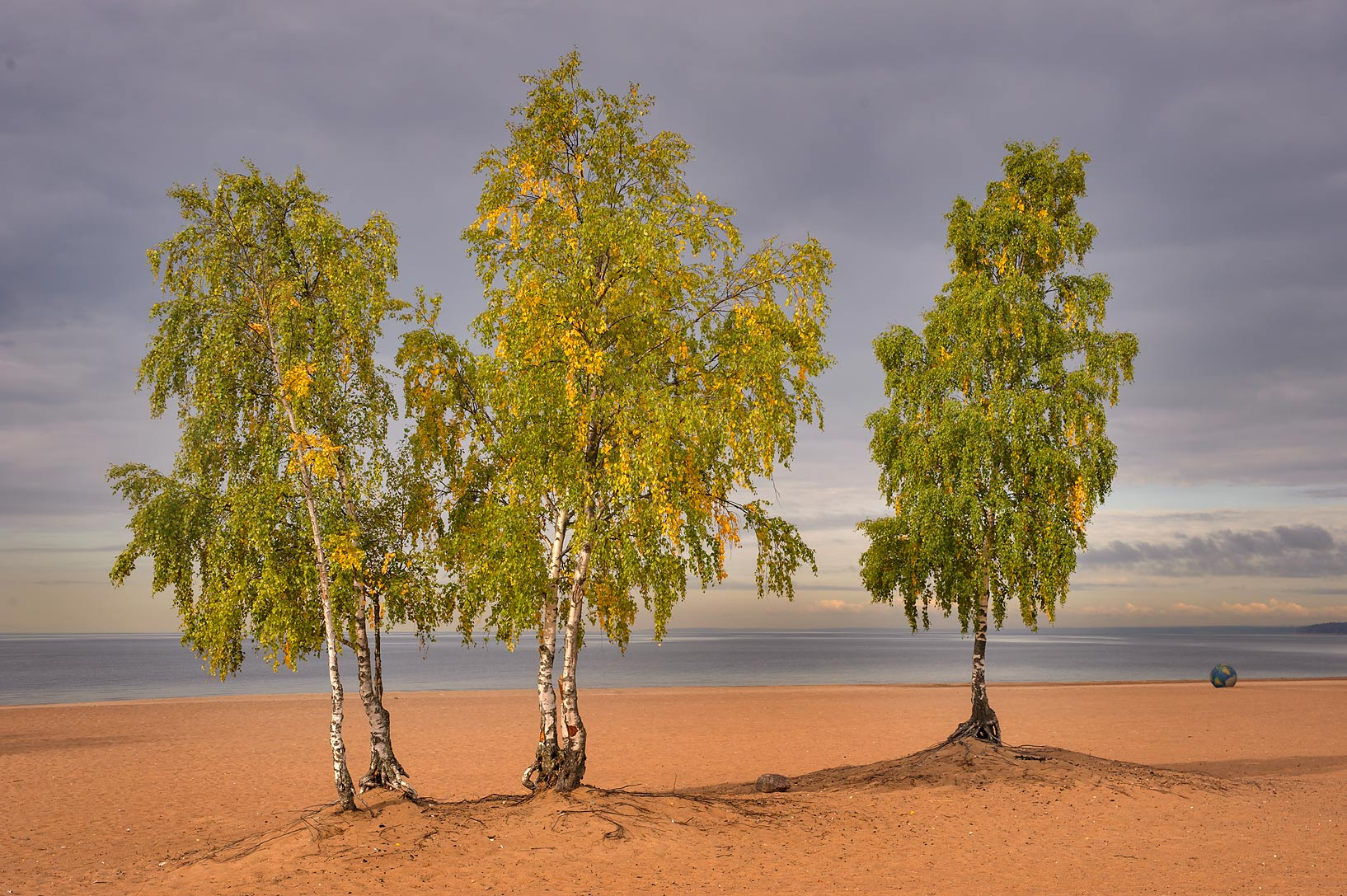 Fall foliage of birch trees on Laskovy Beach in...west from St.Petersburg. Russia