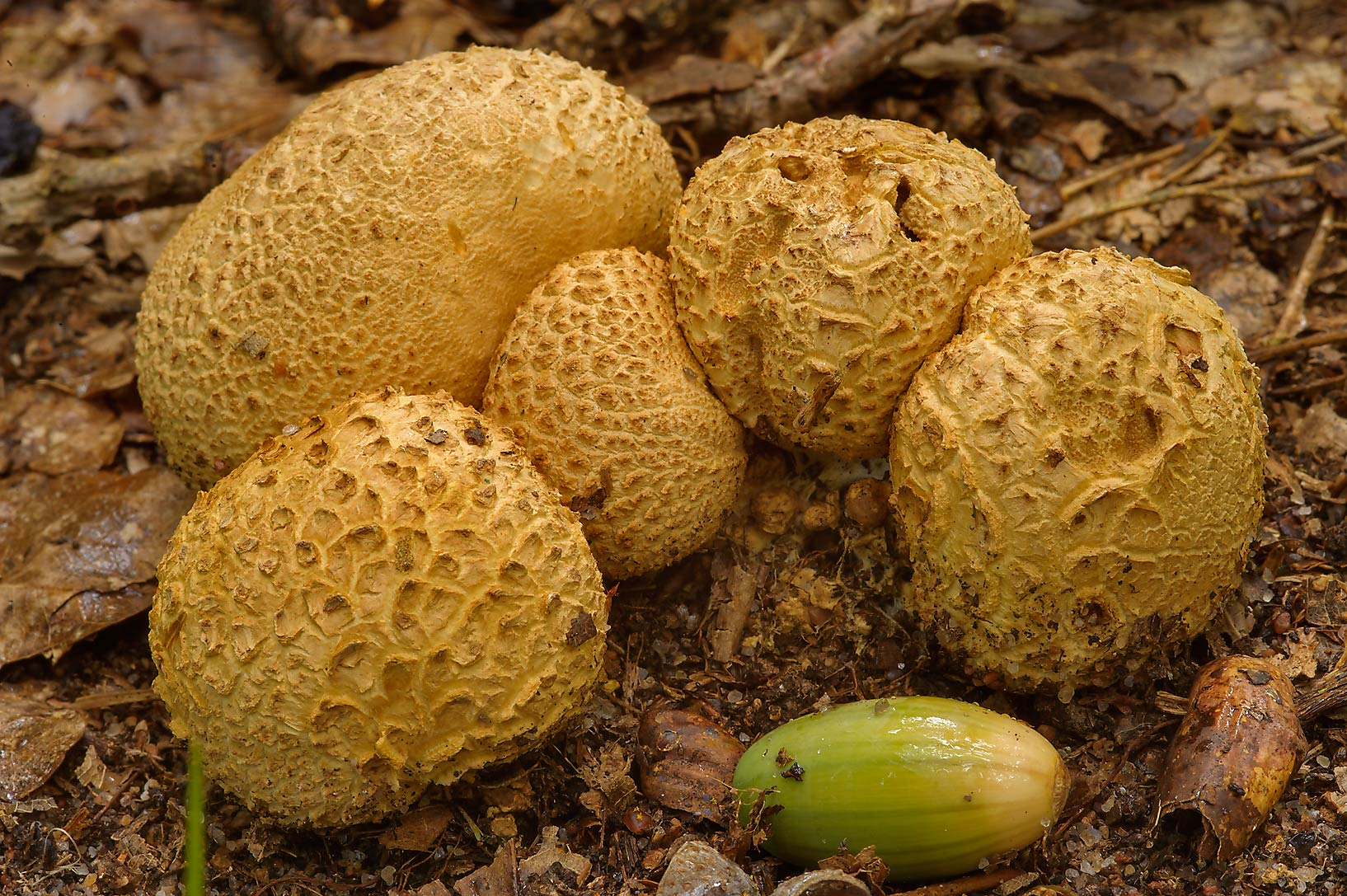 Earthball mushrooms (Scleroderma citrinum) in oak...west from St.Petersburg. Russia
