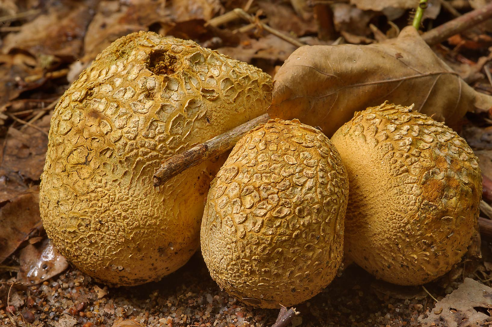Bodies of Earthball mushrooms (Scleroderma...west from St.Petersburg. Russia