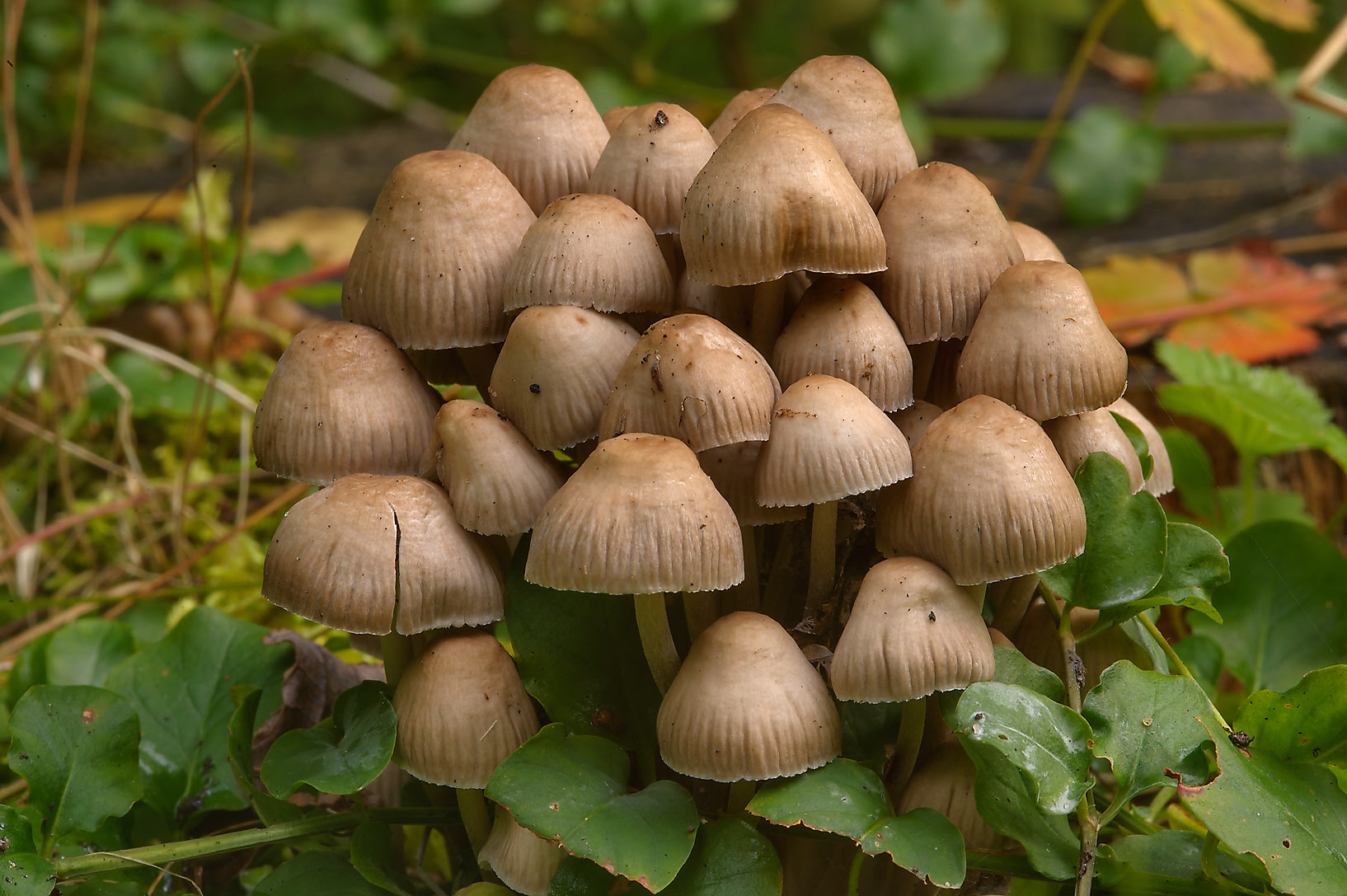 Group of Elf caps mushrooms (Mycena inclinata) on...west from St.Petersburg. Russia