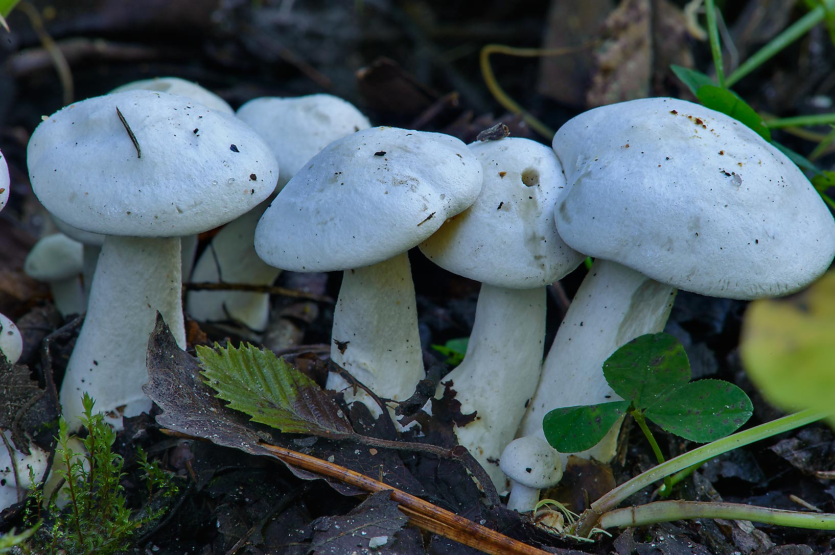 White domecap mushrooms (Leucocybe connata...Lake, near St.Petersburg. Russia