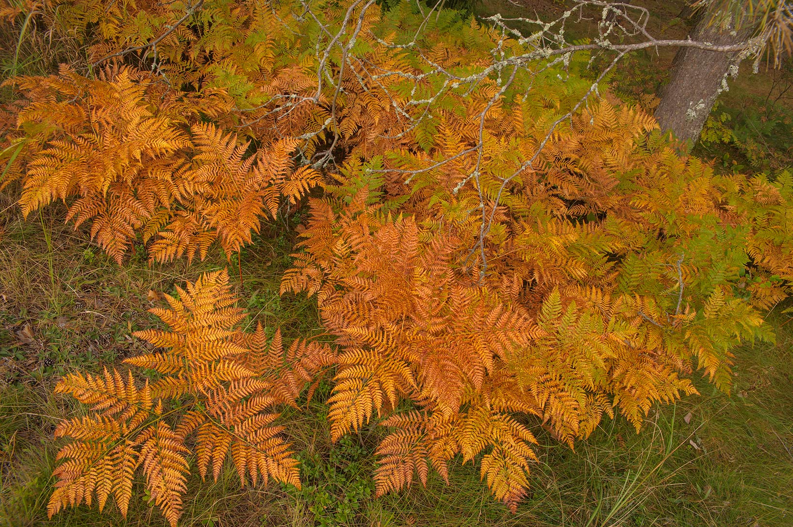Fall colors of bracken ferns (Pteridium aquilinum...from Luga, Leningrad Region. Russia