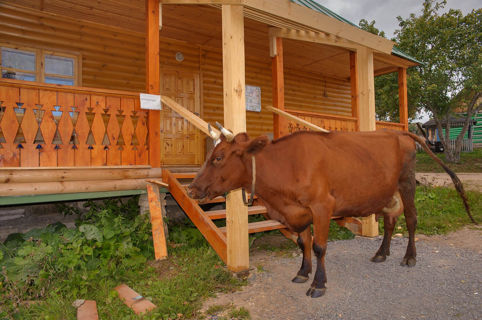 Monk's cow visiting church hardware shop Ikonnaya...Pustyn). Pskov Region, Russia