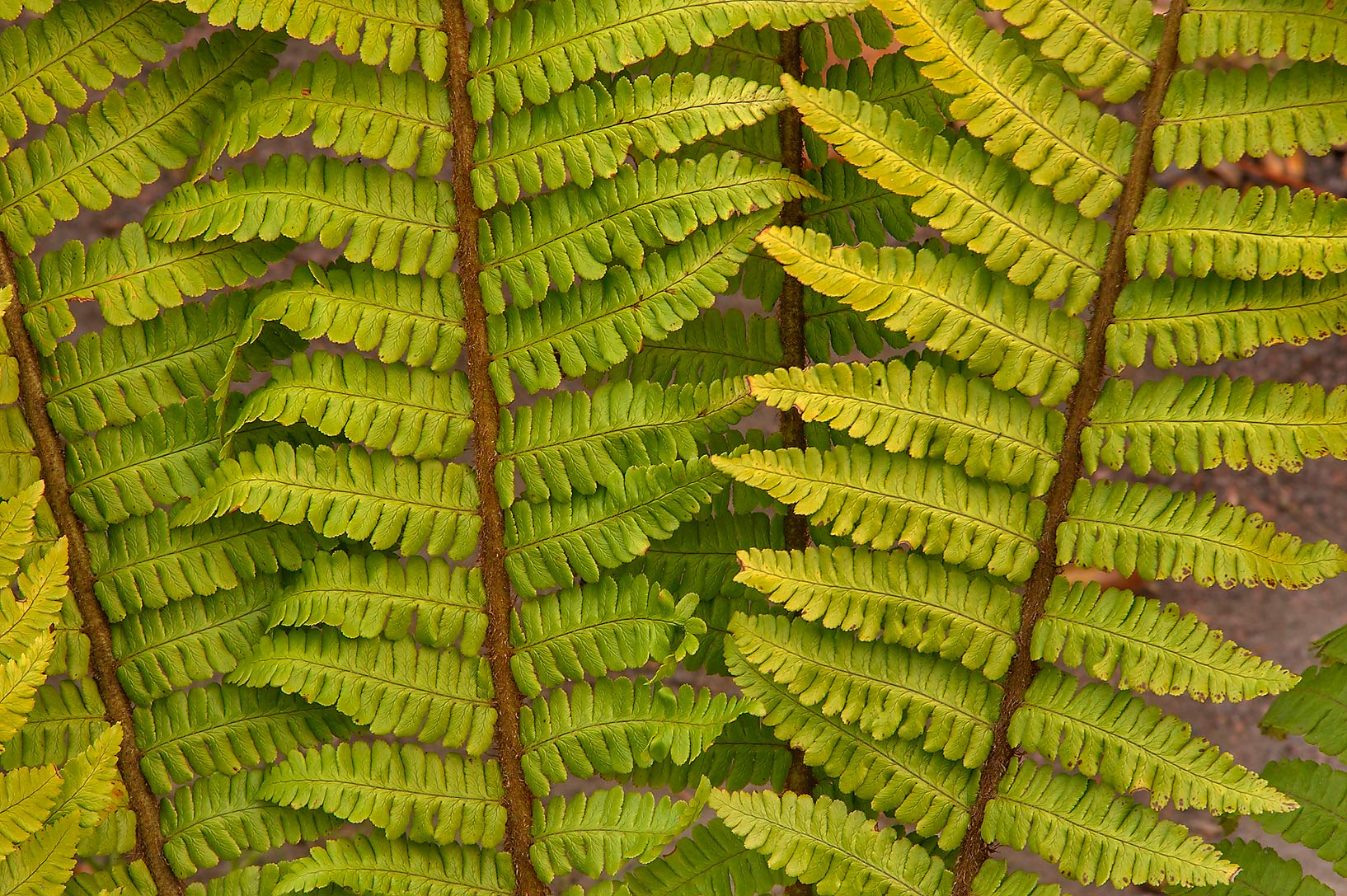 Fern leaves (fronds) in Botanic Gardens of...Institute. St.Petersburg, Russia