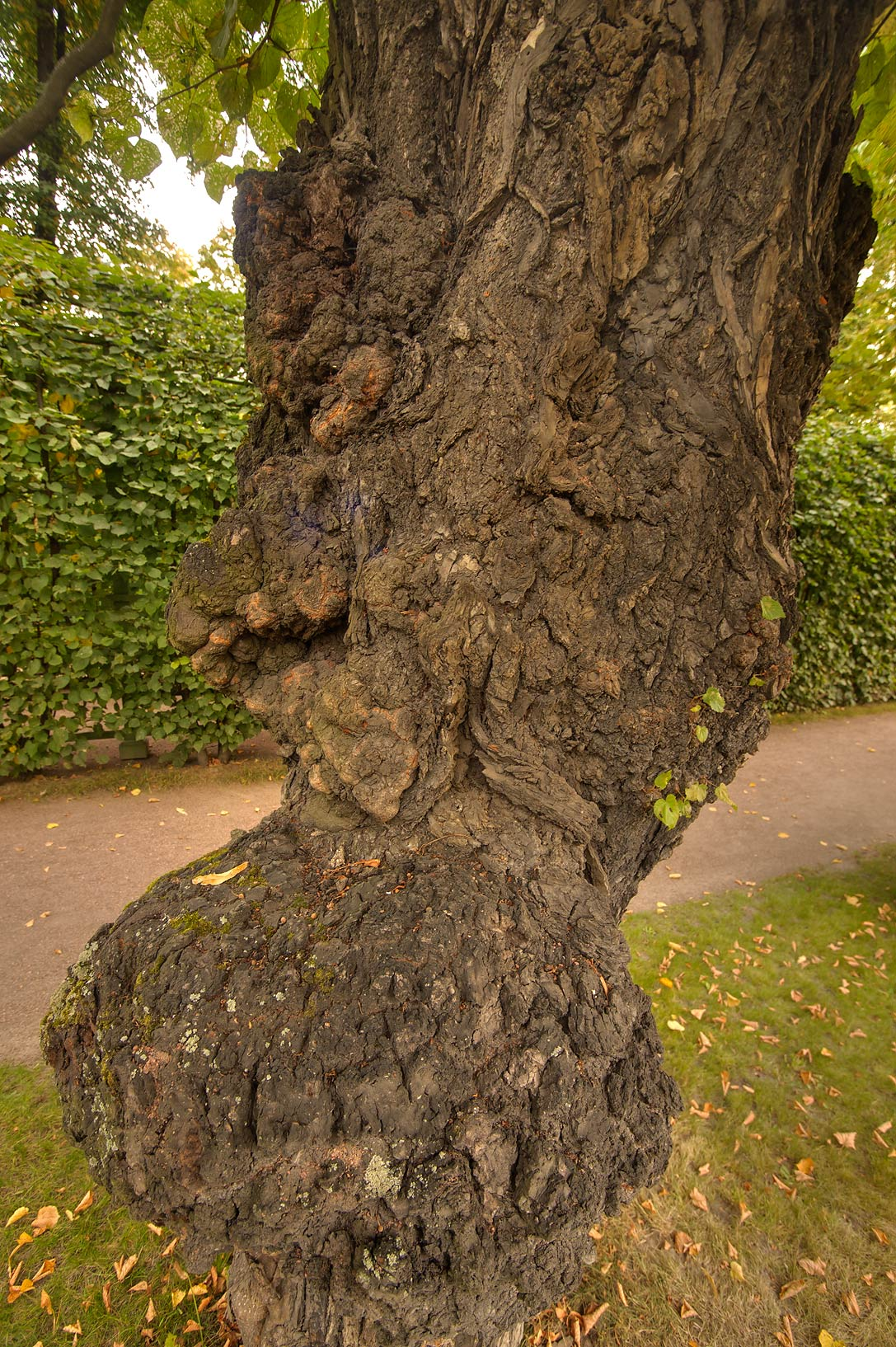 Gnarl of linden tree in Letny Sad (Summer Garden). St.Petersburg, Russia