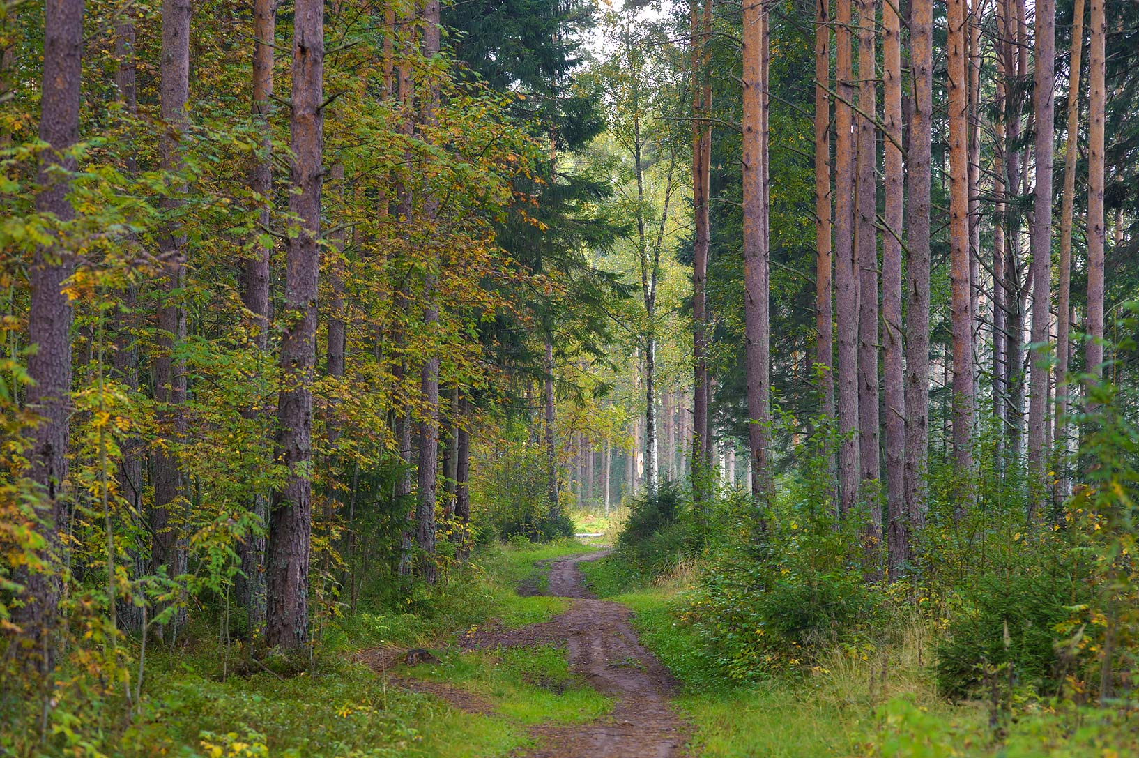Forest road near Okhta River in Kuzmolovo, 5 miles north from St.Petersburg. Russia