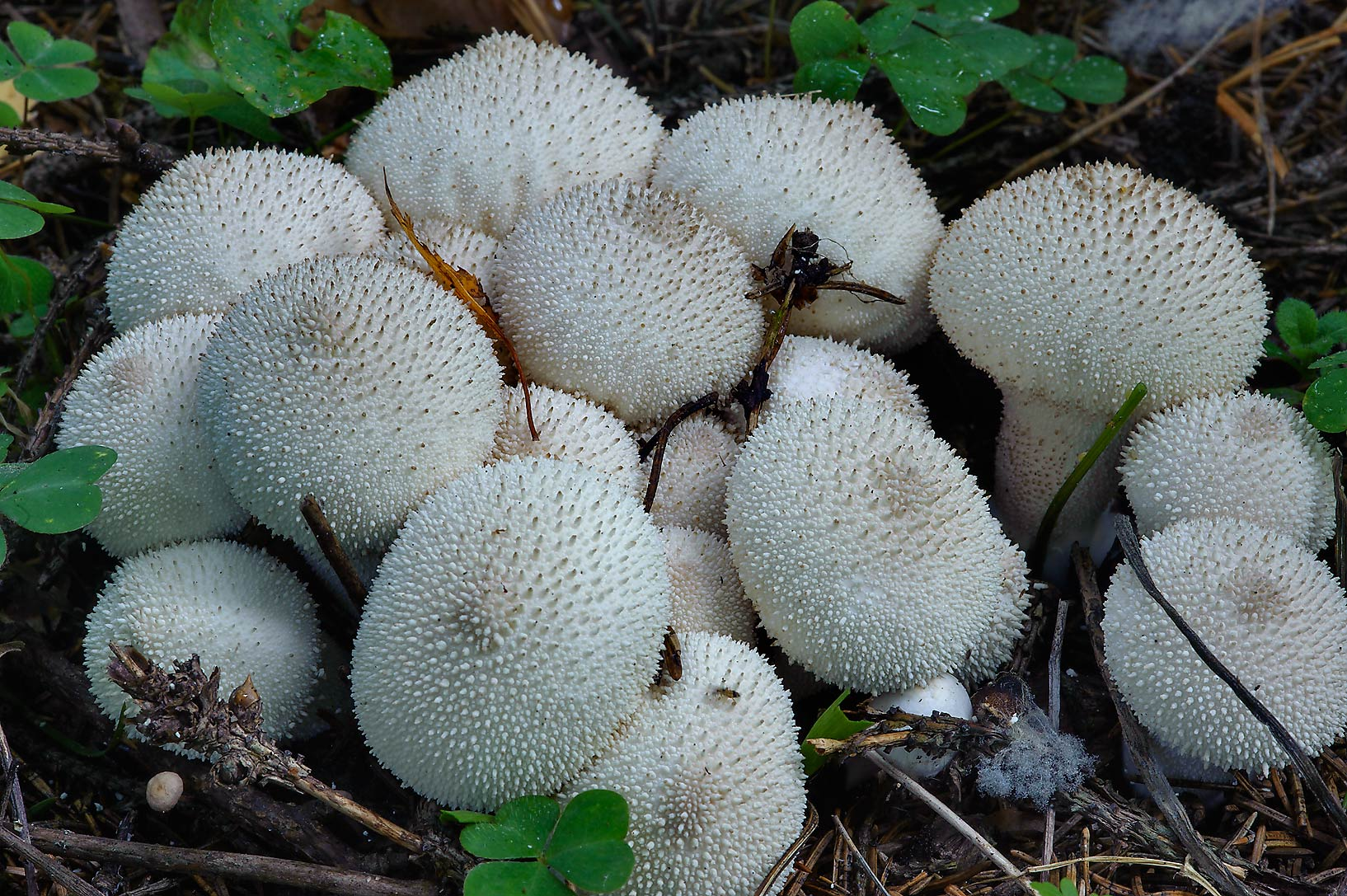 Spiked puffball mushrooms (Lycoperdon perlatum...miles north from St.Petersburg. Russia