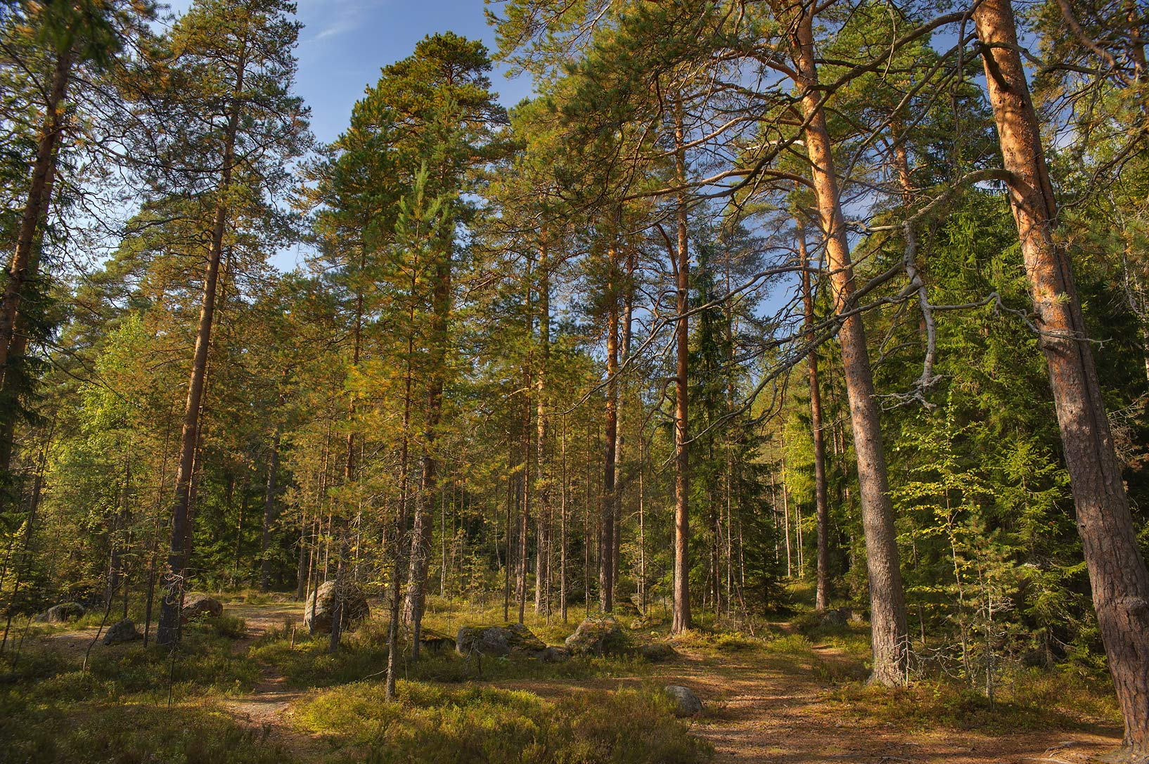 Forest in north-west area of Monrepo (Mon Repos) Park. Vyborg, Russia