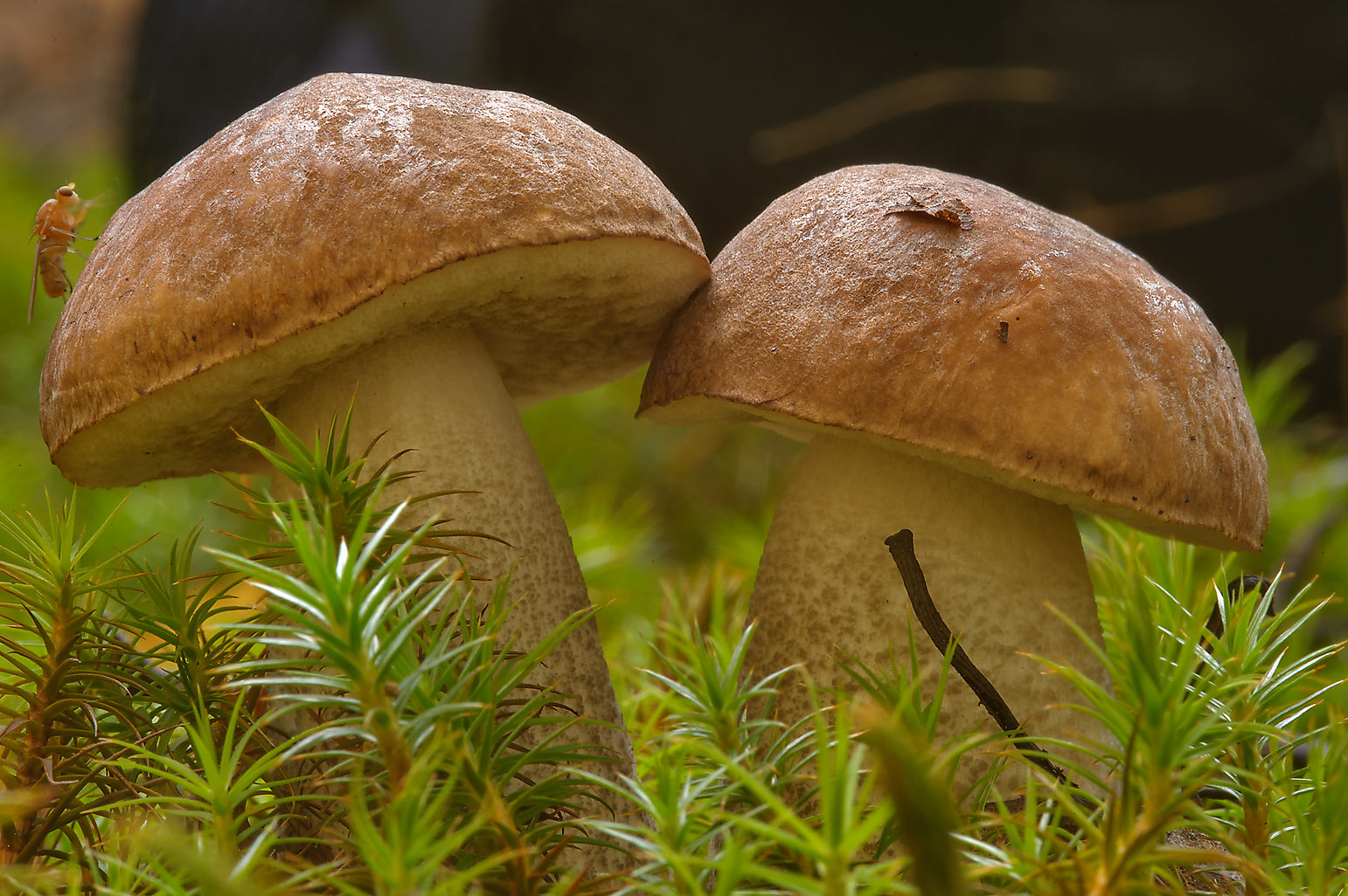 Pair of birch bolete mushrooms (Boletus Scaber...Mon Repos) Park. Vyborg, Russia