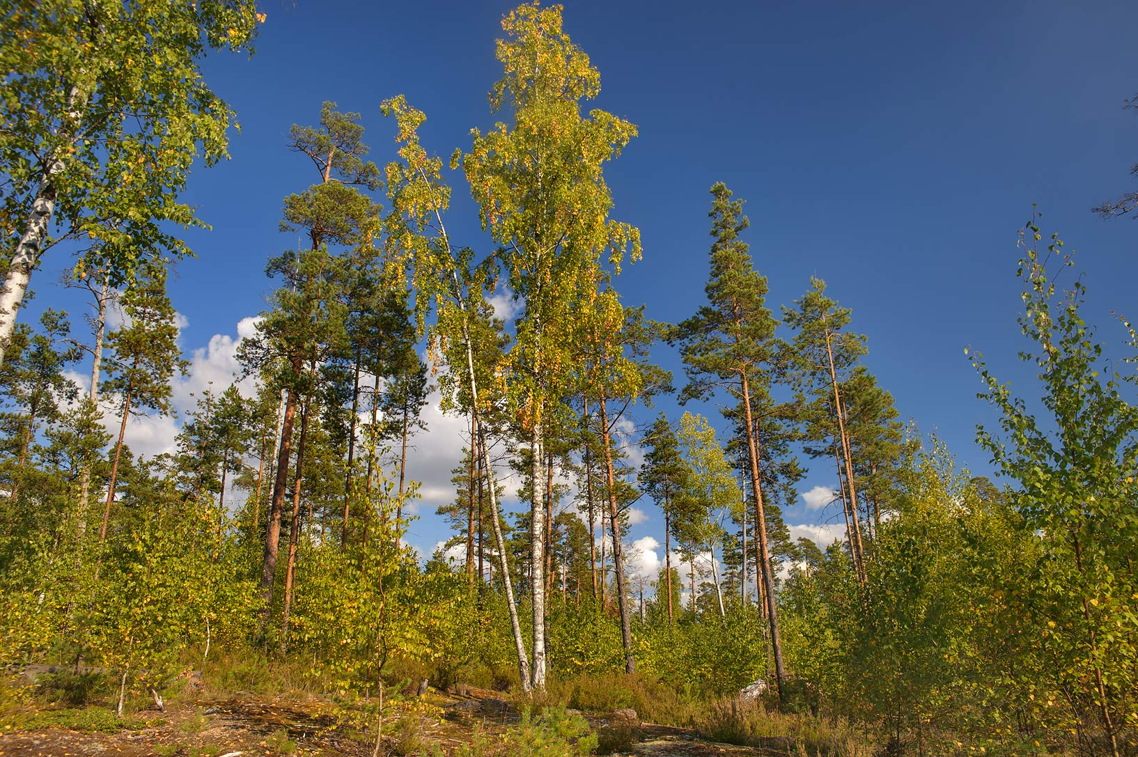 Forest on a granite plateau in north-west area of Monrepo (Mon Repos) Park. Vyborg, Russia