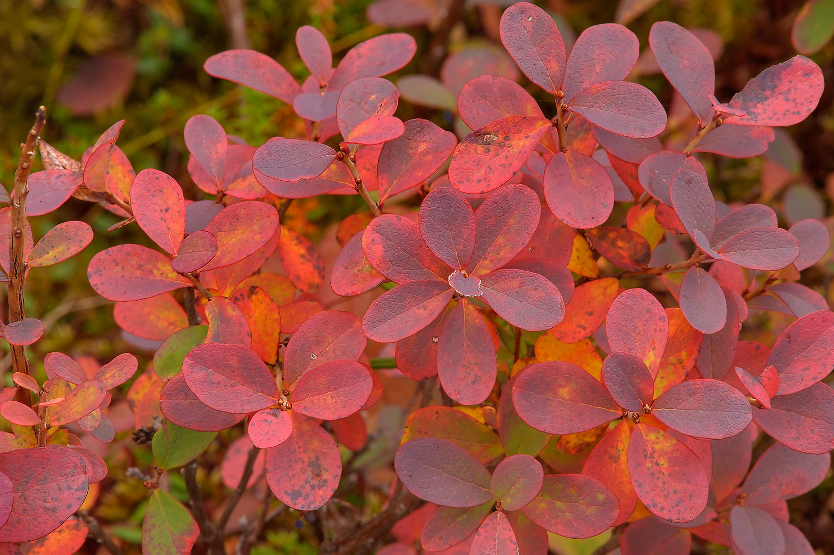 Fall colors of swamp blueberry (Vaccinium...swamp reserve. St.Petersburg, Russia