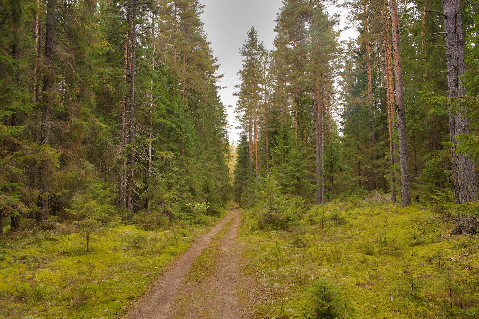 Forest road near Boloto Lammin-Suo swamp reserve. St.Petersburg, Russia