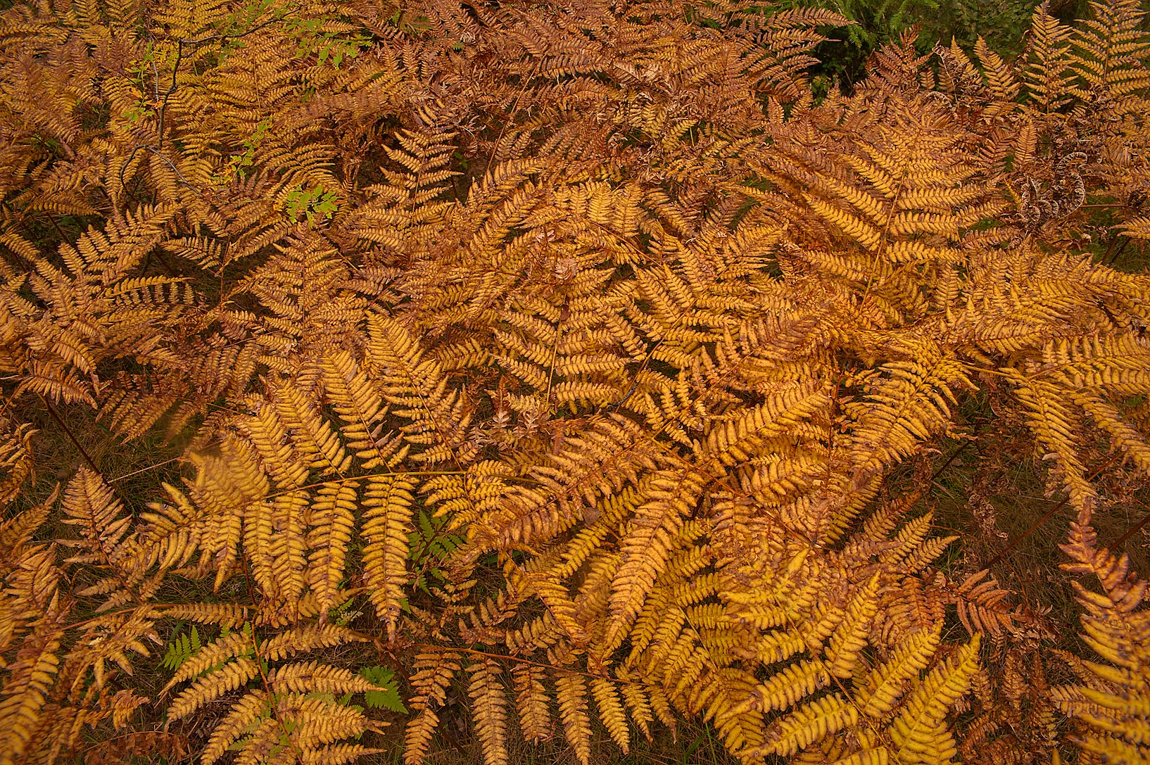 Fall colors of bracken ferns (Pteridium aquilinum...miles west from St.Petersburg. Russia