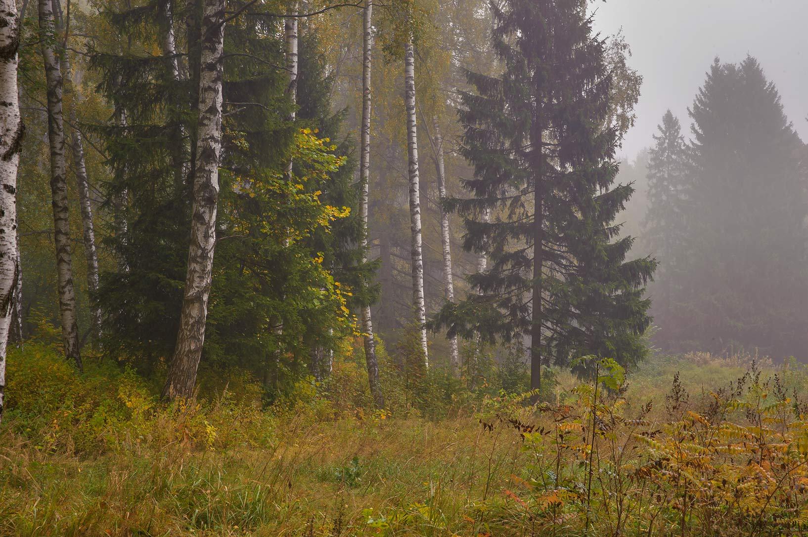 Forest in fog near Krasnogo Bugra (Solntsa) Alley...a suburb of St.Petersburg, Russia