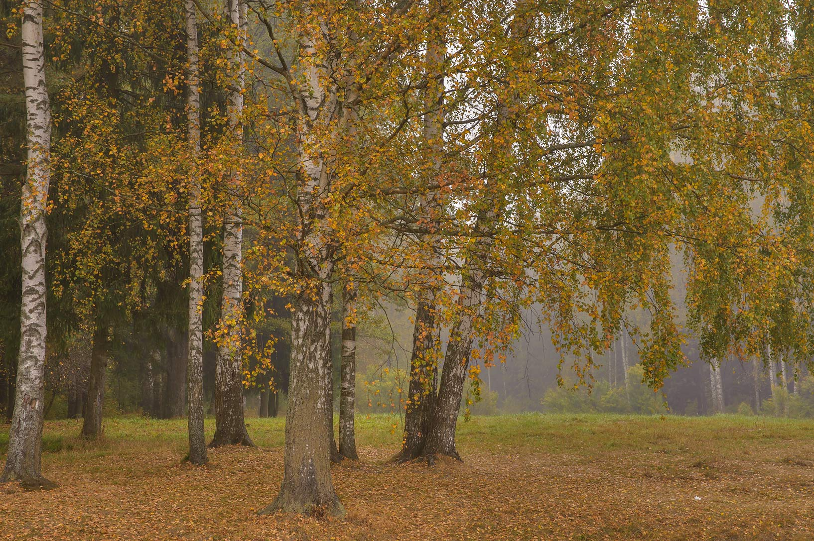 Birch grove near Krasnogo Bugra (Solntsa) Alley...a suburb of St.Petersburg, Russia