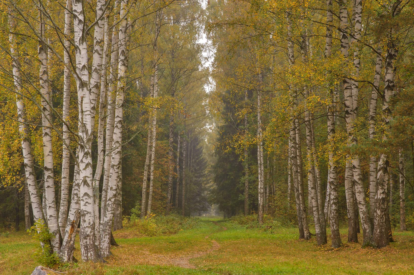 Birches of Poperechnaya Alley in Pavlovsk Park...a suburb of St.Petersburg, Russia