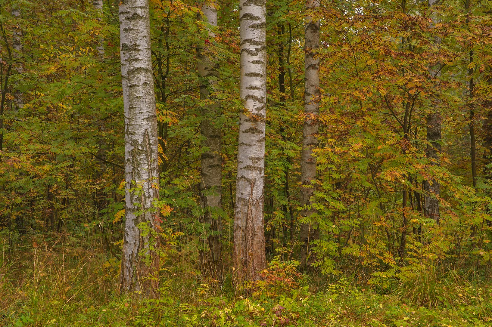 Fall colors of birch trees near Staroshaleynaya...a suburb of St.Petersburg, Russia