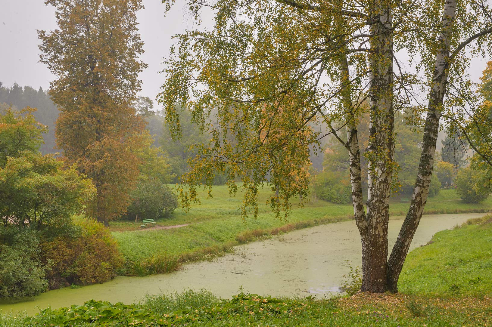 View of a birch tree in valley of Slavianka River...a suburb of St.Petersburg, Russia