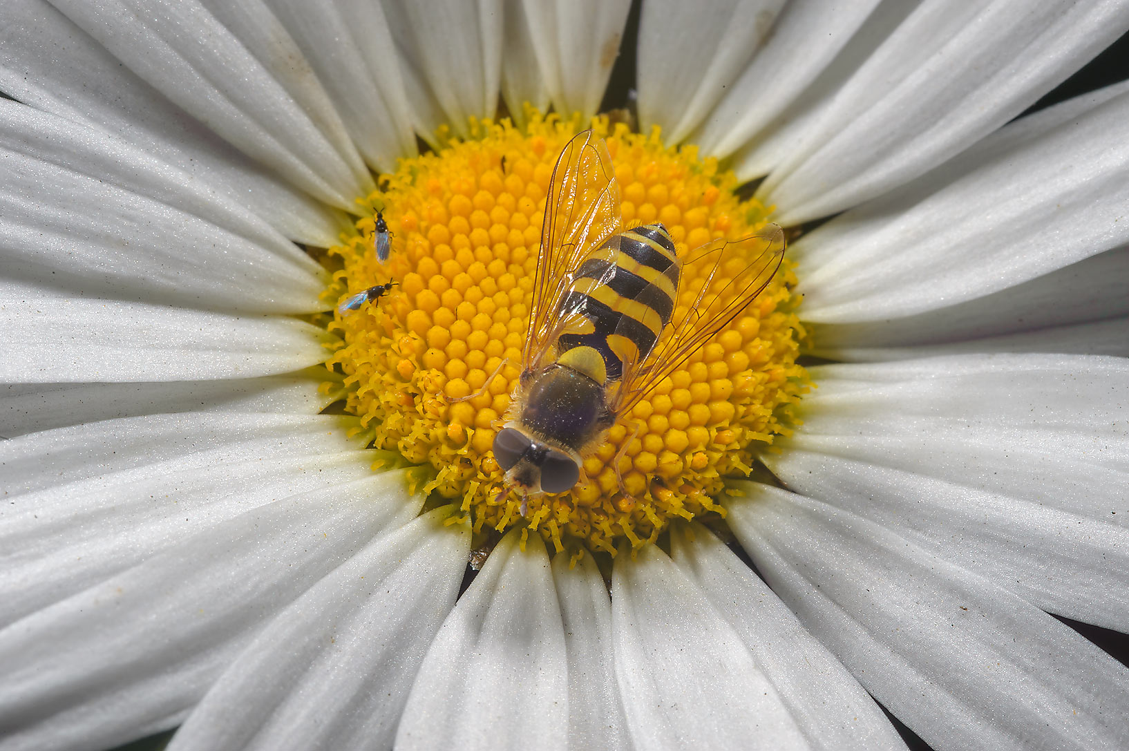 Daisy with a hoverfly in Botanic Gardens of...Institute. St.Petersburg, Russia