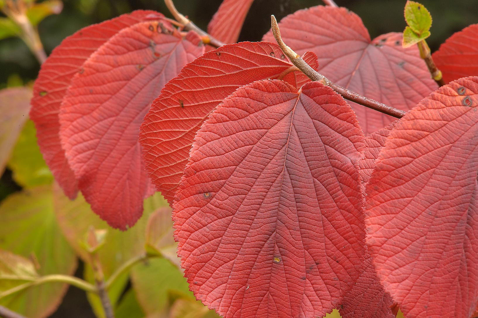 Fall colors of viburnum leaves in Botanic Gardens...Institute. St.Petersburg, Russia