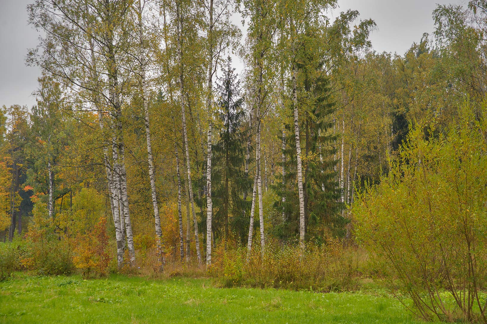Birch grove near Lamsky Pond in Aleksandrovsky...Selo) near St.Petersburg, Russia