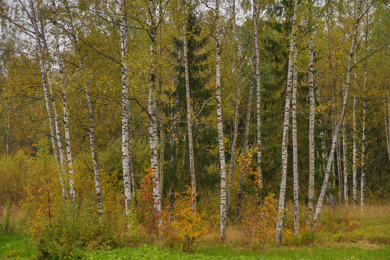 Birch stand near Lamsky Pond in Aleksandrovsky...Selo) near St.Petersburg, Russia