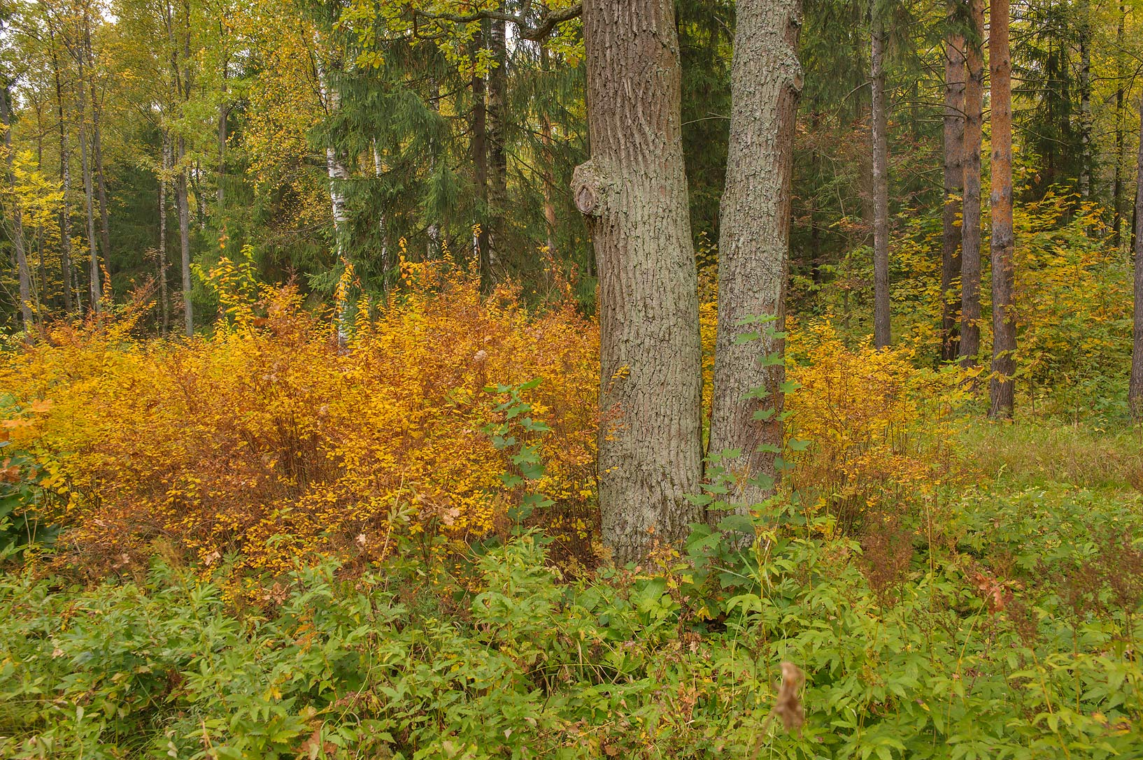 Fall foliage of spirea in area of Shapel Tower in...Selo) near St.Petersburg, Russia