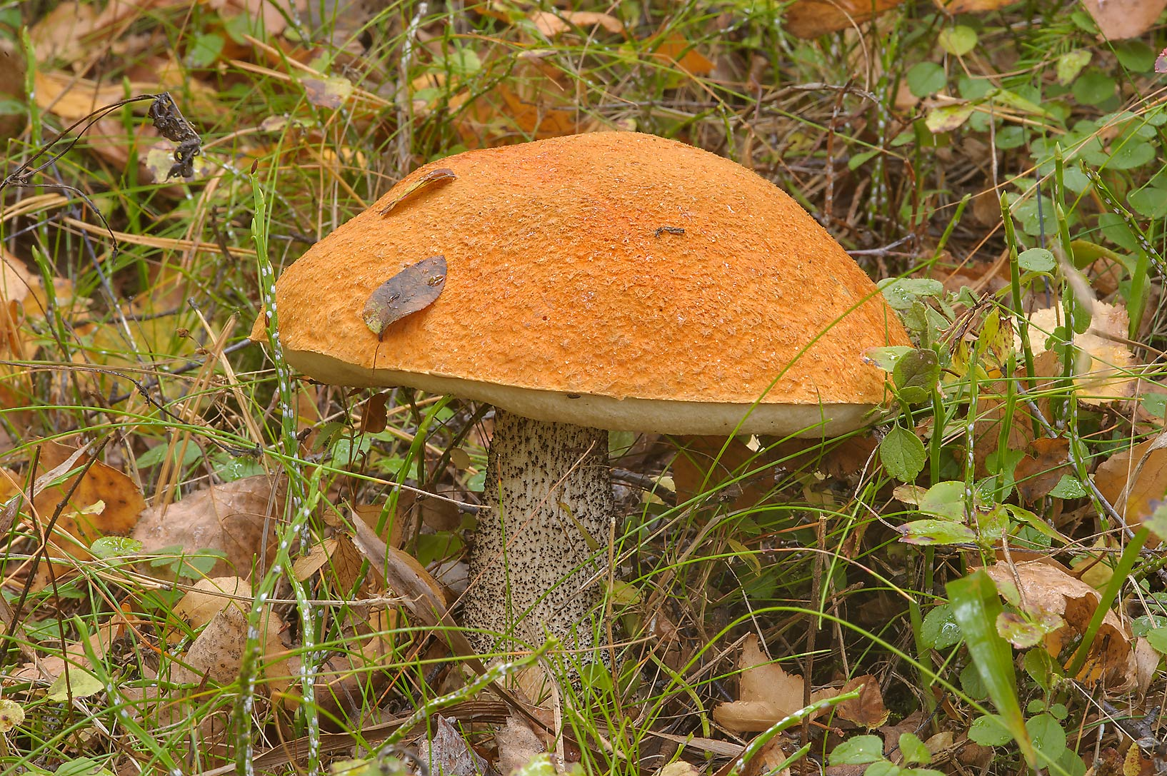 Orange birch bolete mushroom (Leccinum versipelle...miles north from St.Petersburg. Russia