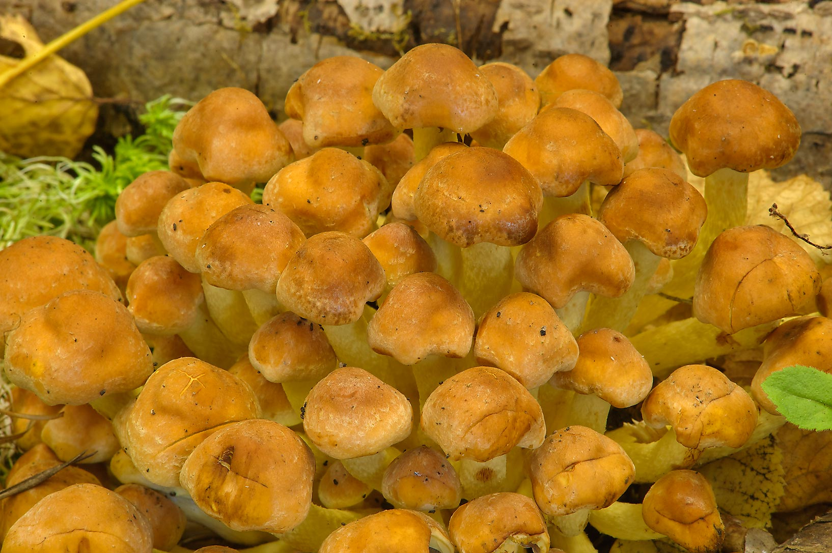 Sulphur Tuft (Hypholoma sp.) mushrooms on display...Institute. St.Petersburg, Russia
