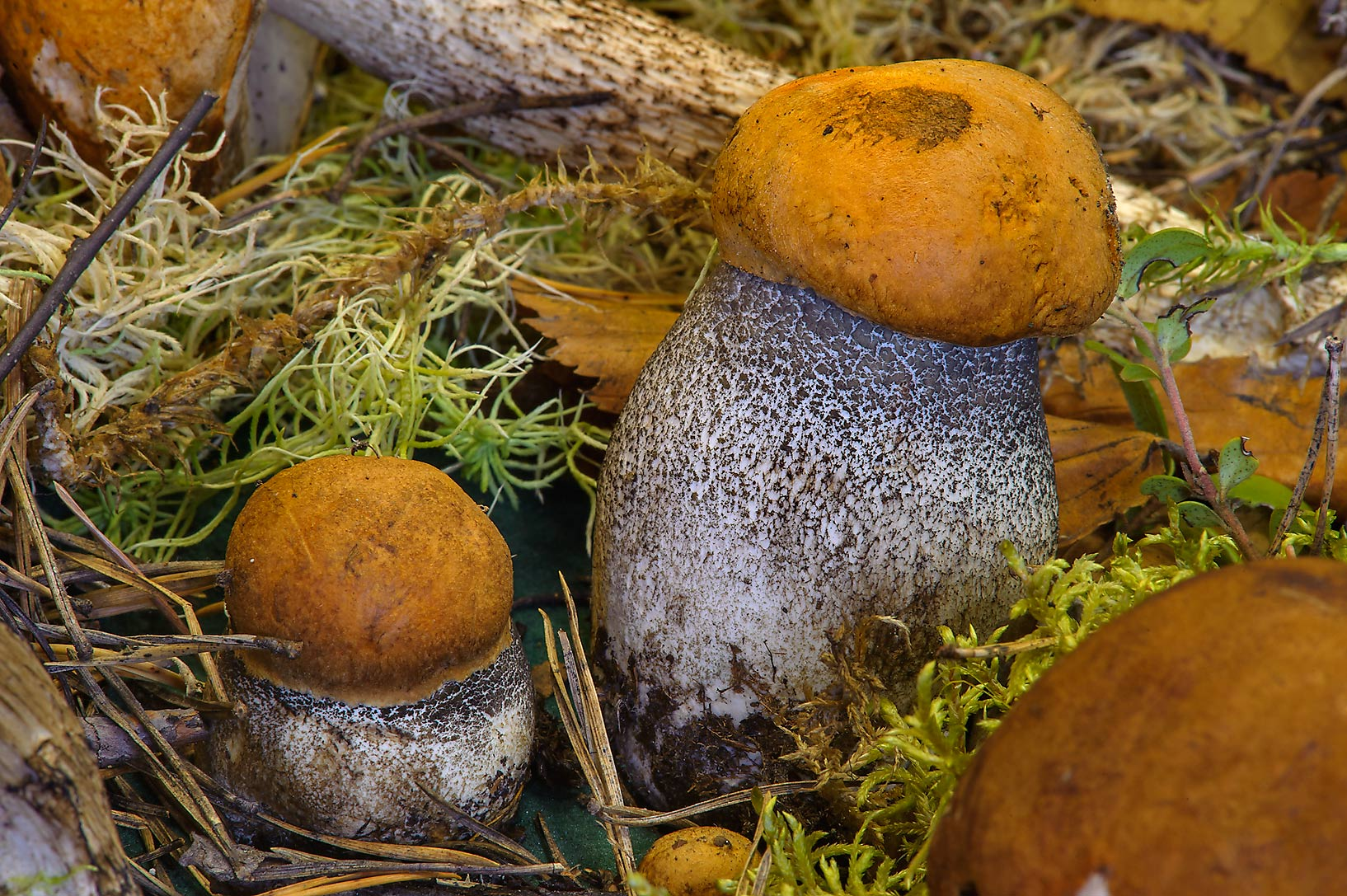 Orange birch bolete mushrooms (Leccinum...Institute. St.Petersburg, Russia