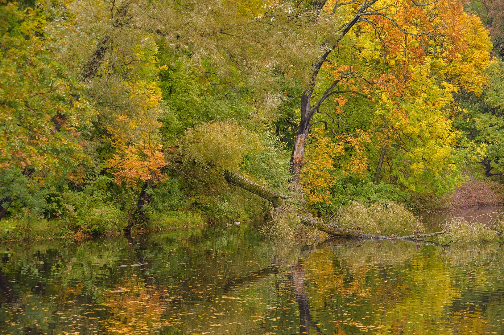 Fall foliage of Third South Pond on Elagin Island. St.Petersburg, Russia