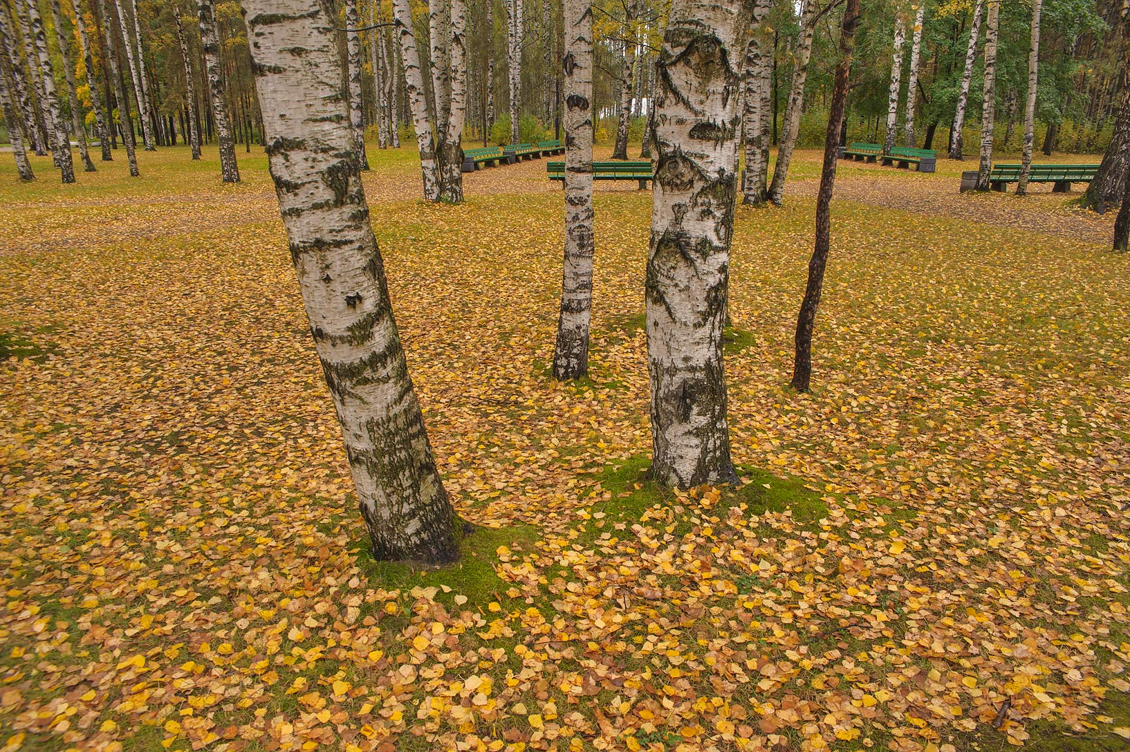 Birch foliage in south area of Sosnovka Park. St.Petersburg, Russia