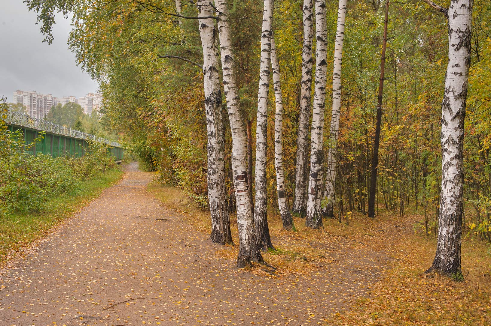 Birches near shooting range in Sosnovka Park. St.Petersburg, Russia