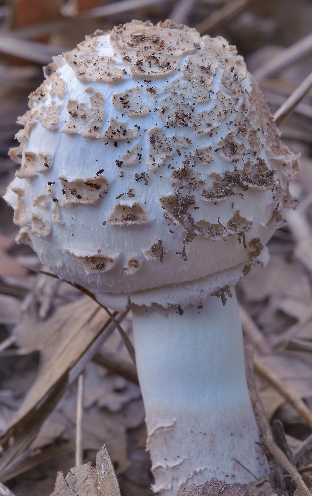 Amanita mushroom in Lick Creek Park. College Station, Texas