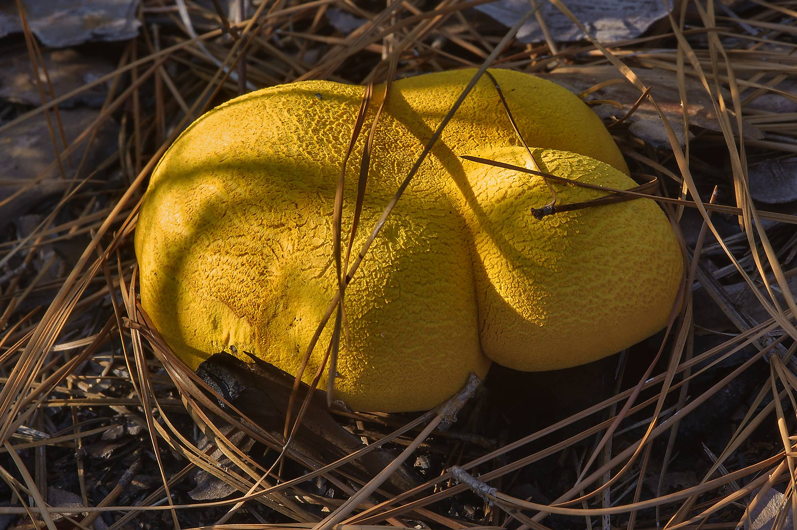 Golden Bolete mushroom (Buchwaldoboletus...National Forest. Richards, Texas