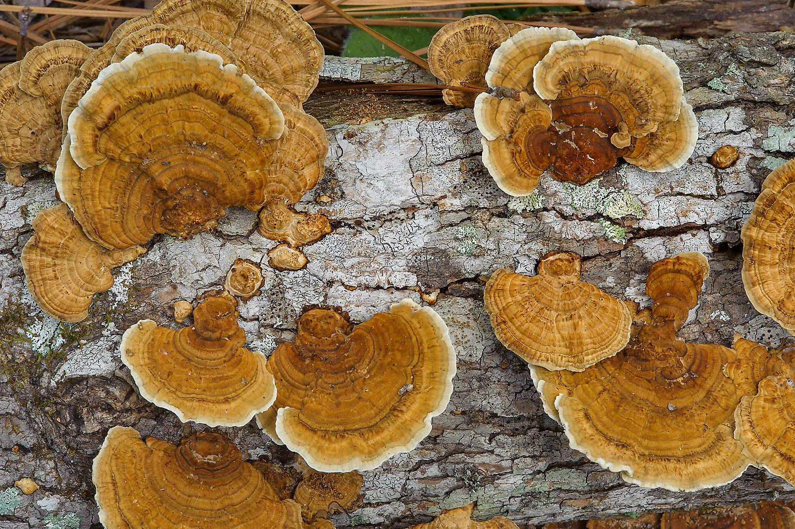 Polypore mushrooms Gloeophyllum striatum on a...National Forest. Richards, Texas