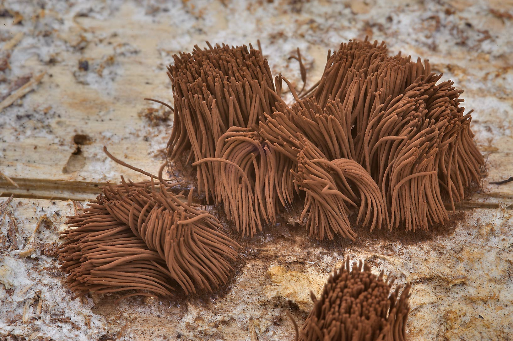 Tall brown sporangia of chocolate tube slime mold...National Forest. Richards, Texas