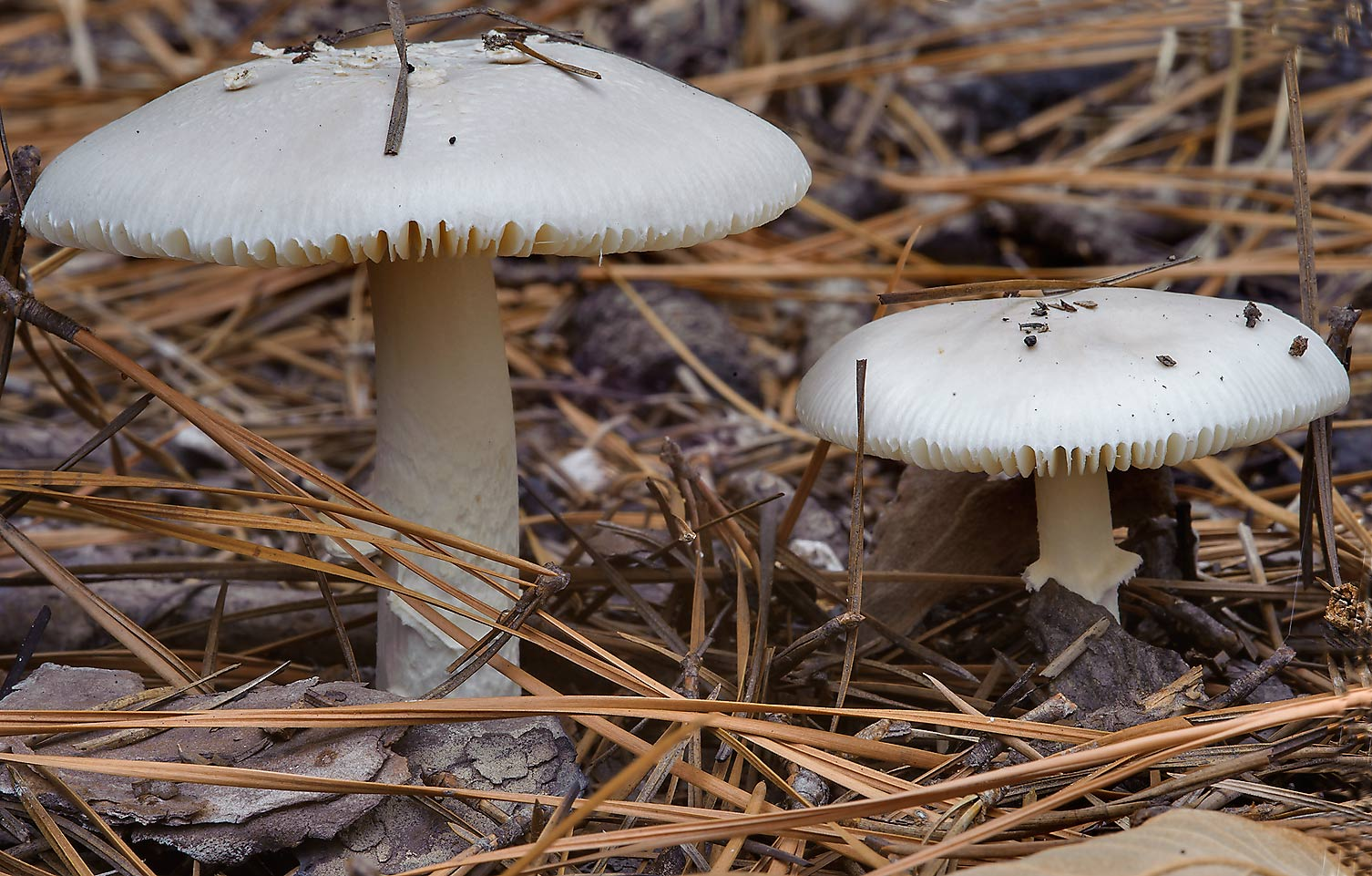 Pair of white Amanita mushrooms on Lone Star...National Forest. Richards, Texas