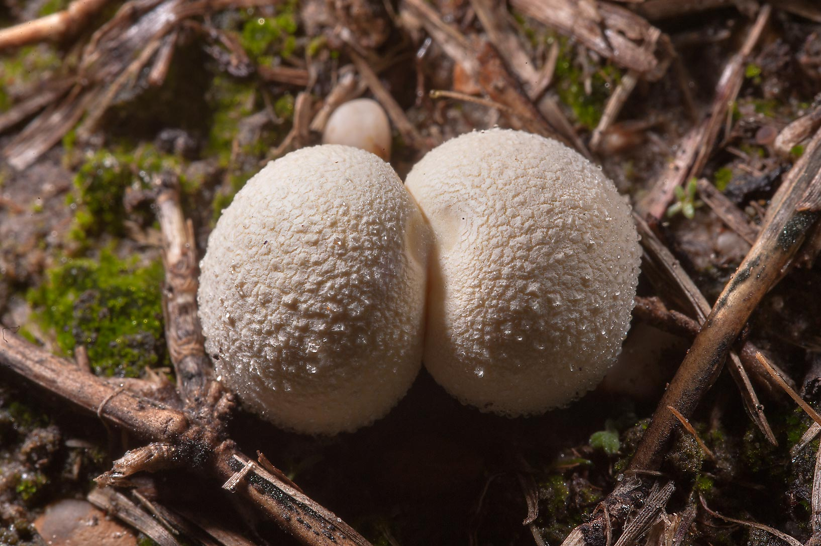Small puffball mushrooms Lycoperdon curtisii...lines in Lake Bryan Park. Bryan, Texas