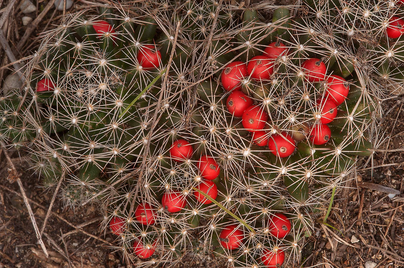 Fruits of Nipple cactus (Missouri foxtail cactus...at FM Rd. 3090 near Navasota. Texas