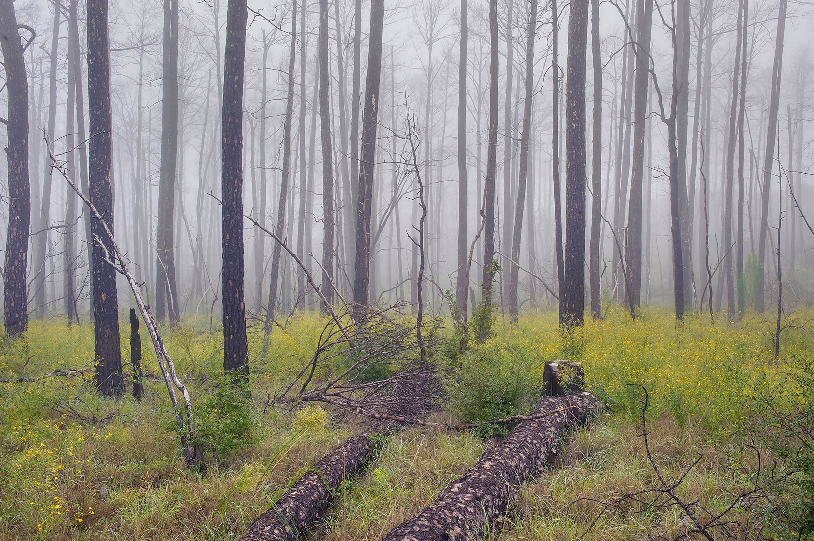 Lost Pines Trail in fog in Bastrop State Park. Bastrop, Texas