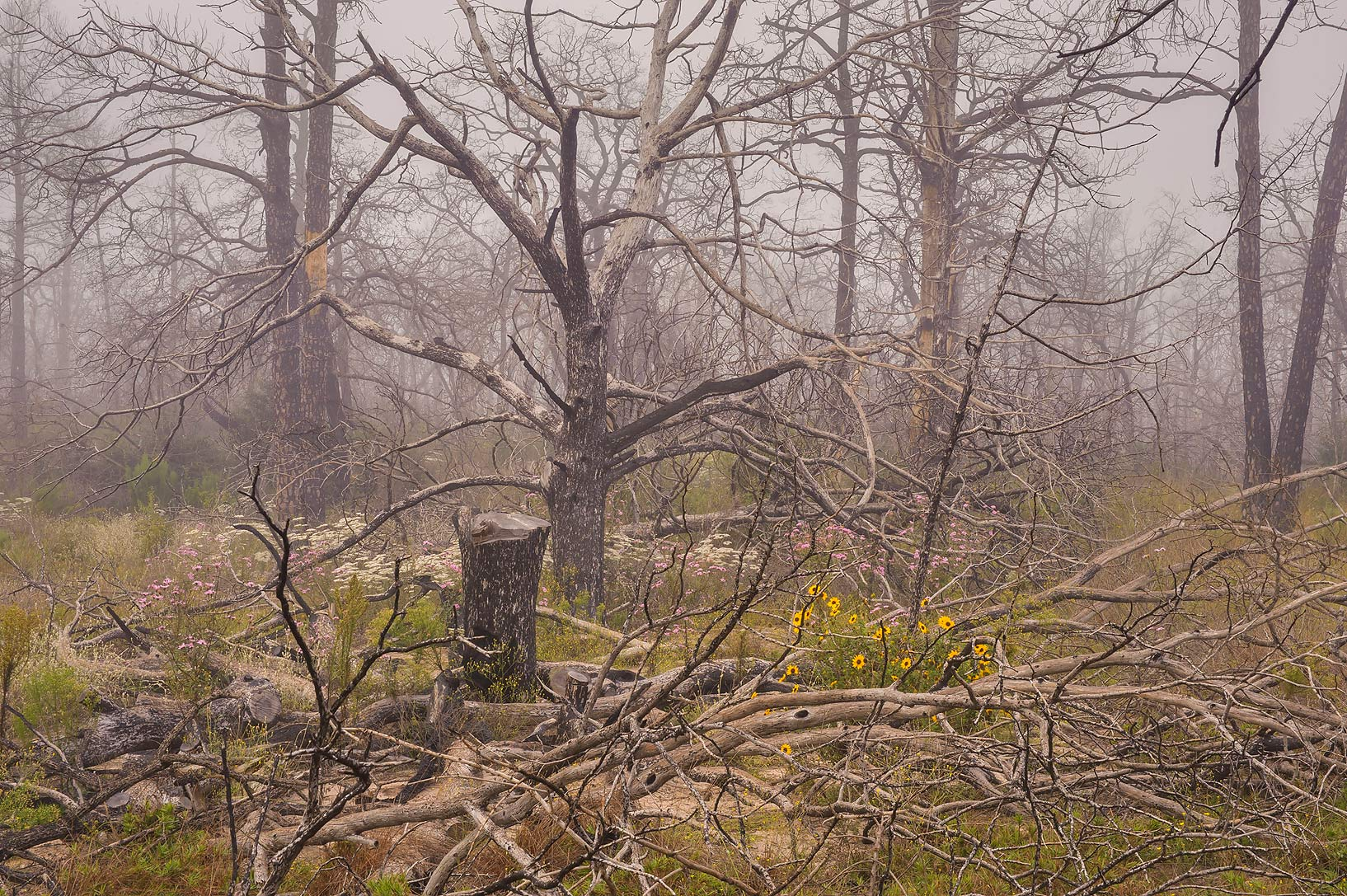 Dead trees at Roosevelt Cutoff Trail in Bastrop State Park. Bastrop, Texas